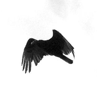 buzzard-photo-1-copy